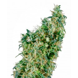 First Lady® Regular Seeds...