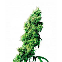 Four-Way® Regular Seeds...
