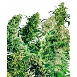 Indoor Mix® Regular Seeds...