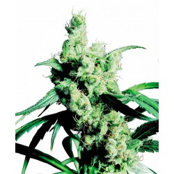 Silver Haze® Regular Seeds...