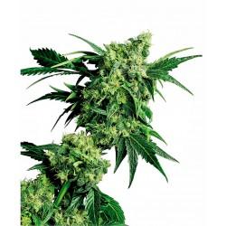 Mr. Nice G13 X Hash Plant®...