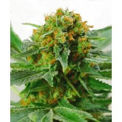 Jack Herer® Regular Seeds...