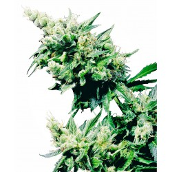 Hash Plant® Regular Seeds...