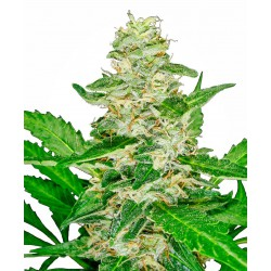 Super Skunk Automatic Seeds...