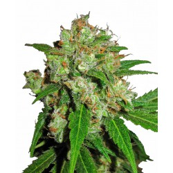 Sensi Skunk Feminized Seeds...