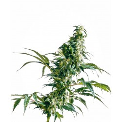 Mexican Sativa Feminized...
