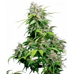 California Indica Feminized...