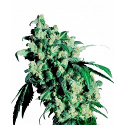 Super Skunk Feminized Seeds...