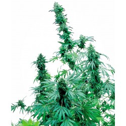 Early Skunk Feminized Seeds...