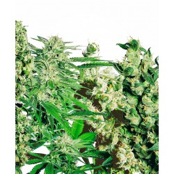 Feminized Mix Seeds Semena...