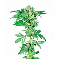 Afghani 1 Feminized seeds...
