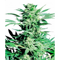 Shiva Skunk Feminized Seeds...