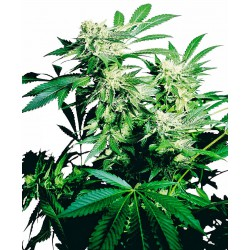 Skunk Kush Feminized Seeds...