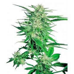 Big Bud Feminized Seeds...