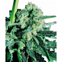Sensi Skunk® Regular Seeds...