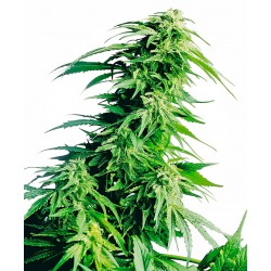 Hindu Kush® Regular Seeds...