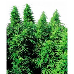 Ruderalis Skunk® Regular...