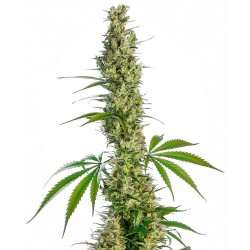 Eagle Bill® Regular Seeds...