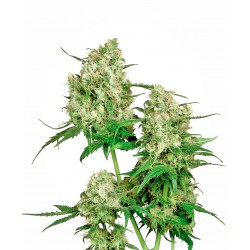 Maple Leaf Indica® Regular...